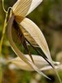 Grass Seed Pod