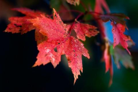 Wilting Leaf