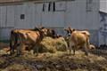 Cows 'n Hay