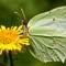 Brimstone Butterfly: (Gonepteryx rhamni)