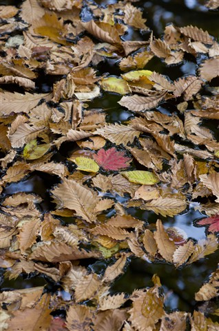 Fallen Leaves Covering the Water