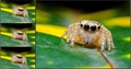 JACK THE JUMPING SPIDER