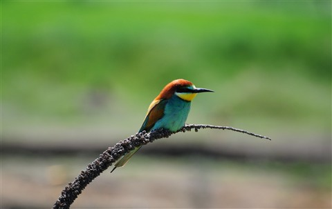 Merops apiaster (Gruccione) Photo 1