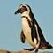 African Penquin