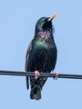 The beauty that is a Starling