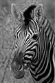Namibian zebra
