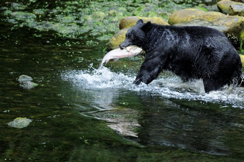 Black Bear and Salmon