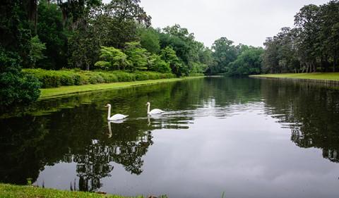 Swans - Charleston SC