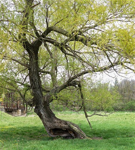 My Version-Tree-1