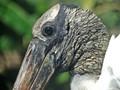 Wood Stork profile