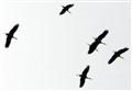 Storks on passage