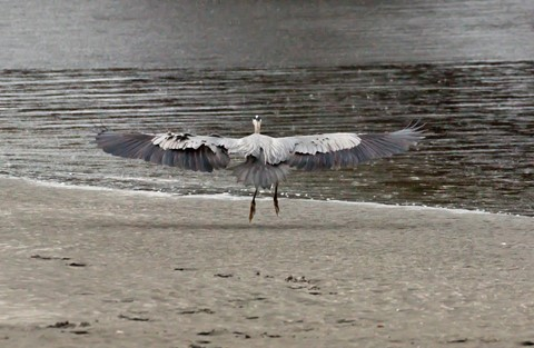 Snowy Egret-52