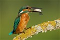 common kingfisher 79
