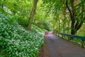 Wild Garlic in the Valley Gardens