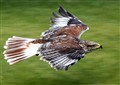 Speeding hawk