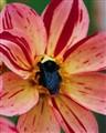 Dahlia & Bee