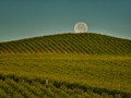 Morning shot of Sonoma County vineyard and the full moon setting.