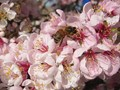 Flowering Peach Blossom