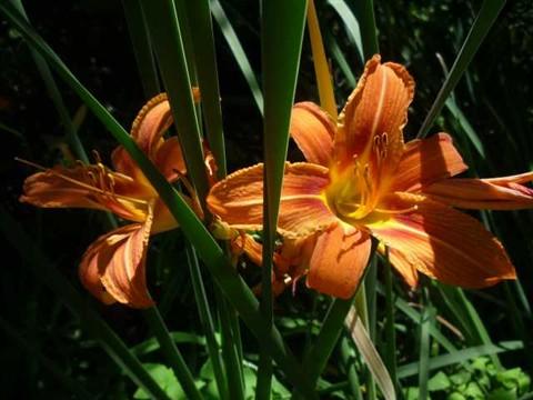 wild day lily 3dark