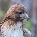 A close encounter with a red tail hawk
