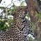 Leopard_9864