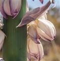 yucca flower, saguaro np (1 of 1)