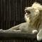 04 Lion