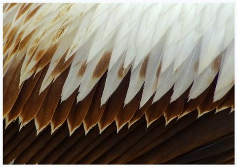 Phillip Island Pelican