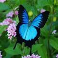male butterfly