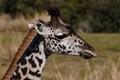 Closeup giraffe
