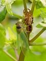 Cicada Birthday