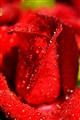 Rose : Symbol of love