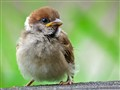 Baby Eurasian Tree Sparrow