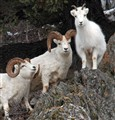 This photo was taken at the peak of the rut for Dall sheep in Alaska. These two rams were engaged with showing this ewe who was the biggest and best guy on the mountain.