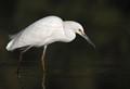 egret snowy dp2