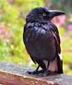 currawong in the rain