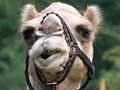 Camel Smirk