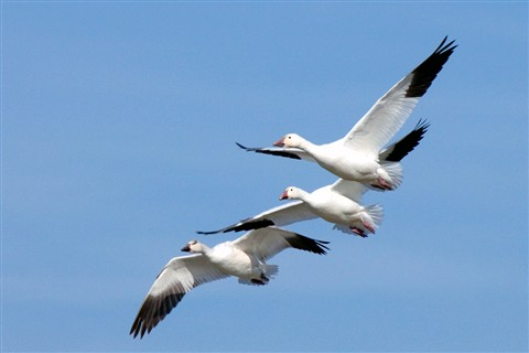 3 snowgeese sm