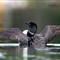kasshabog 306_loonwings_Cs