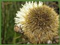 Snout beetle 'down under'