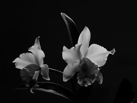 Cattleya in B&W