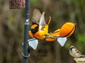 Baltimore Oriole taking off
