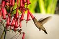 Tasty Cape Fuchsia