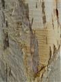 Melaleuca (Paper) Bark