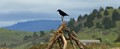 a crow on a pile of driftwood