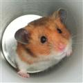 Yuuki the Hamster