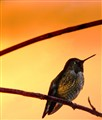 anna'a hummingbird at sunrise