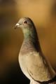 3D pigeon