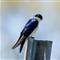 Tree-Swallow