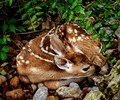 BRAND NEW FAWN